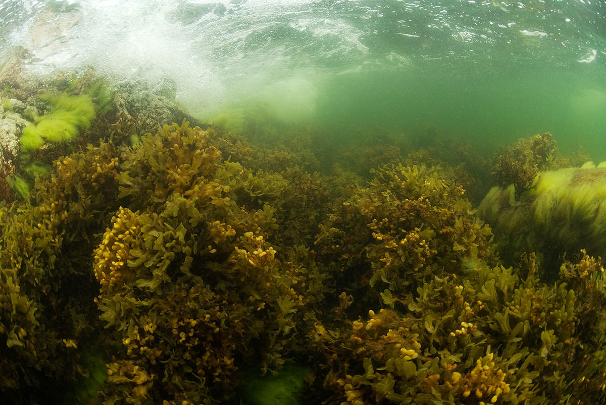 Figure B1.2.2. Bladderwrack is an important habitat-forming seaweed which colonises hard substrates in the Baltic Sea.