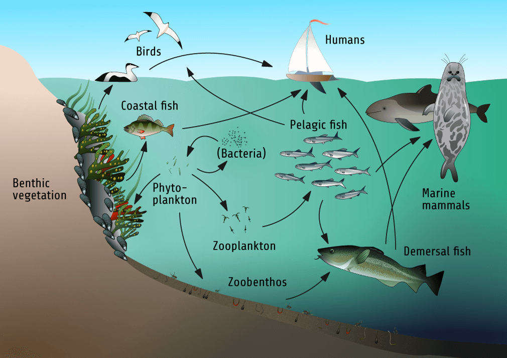 Figure 1.3. A Schematic, Simplified Illustration Of The Food Web Structure In The Baltic Sea. Illustration: Sebastian Dahlström.